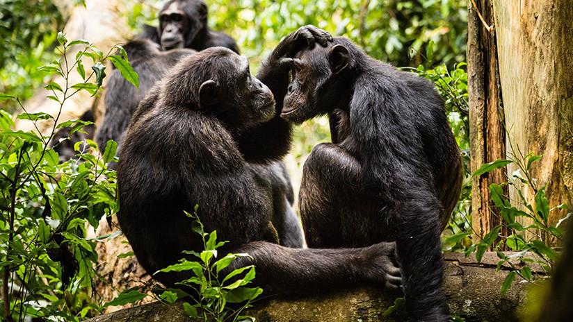 Tribunal suizo autorizó un referéndum para otorgar derechos fundamentales a los simios