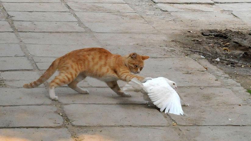 VIDEO: Se viraliza la amistosa pelea entre una paloma y un gato