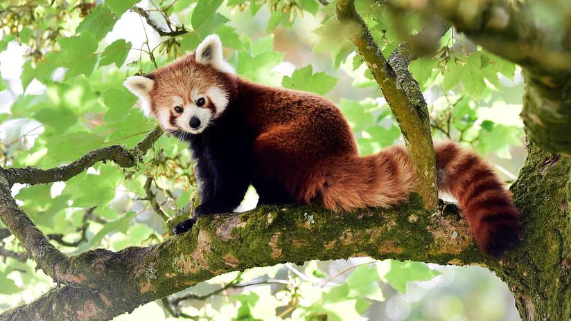 FOTO: Buscan un panda rojo que se fugó de un zoológico de Irlanda del Norte
