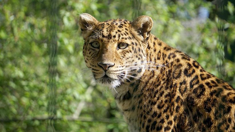 VIDEO: Un leopardo salvaje irrumpe en una ciudad de India y hiere a tres personas