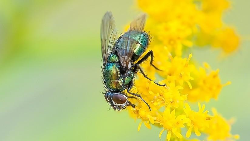 Una turista regresa a casa de un viaje con larvas de una rara mosca tropical en el interior de su cabeza