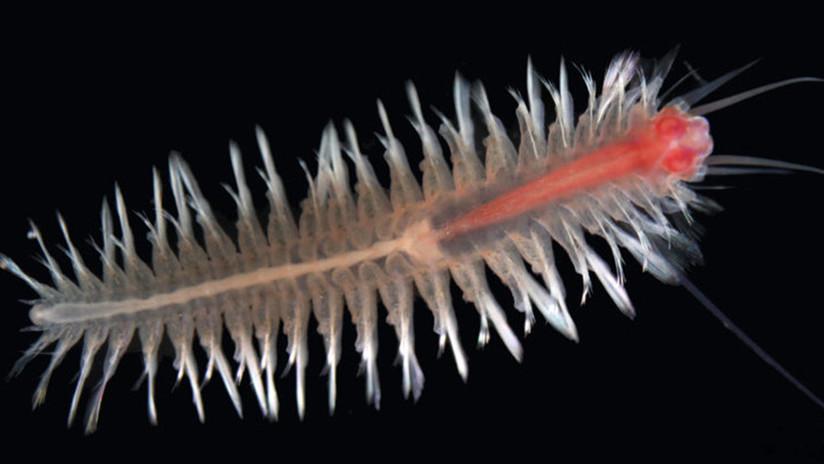 Encuentran en el Caribe una nueva y rara especie de crustáceo que parece un ciempiés nadador