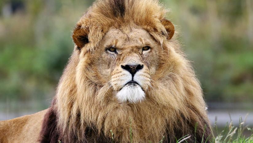 VIDEO: Un león despierta de la peor manera a una leona y le provoca un buen susto