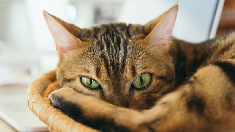 Los neurólogos hallan pruebas de la relación entre el parásito del gato y la esquizofrenia