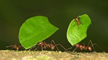 Las hormigas obreras Atta cephalotes llevan hojas a su nido en la reserva natural de Tambopata, en Perú