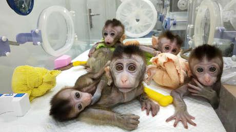 Los cinco macacos clonados, China, 24 de enero de 2019.