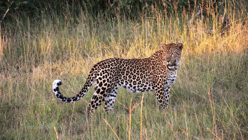 Un impala recién nacido casi 'convence' a un leopardo de que es su cría