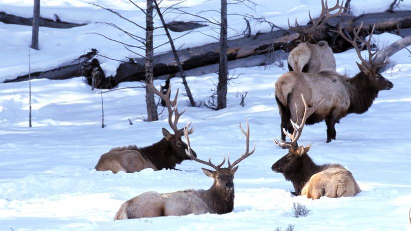 Entre tropiezos y caídas en la nieve, una manada de lobos ataca a varios ciervos