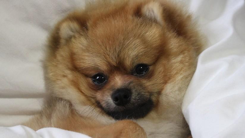 FOTOS: Un perro pierde una oreja tras hacérsela teñir de rojo su dueña