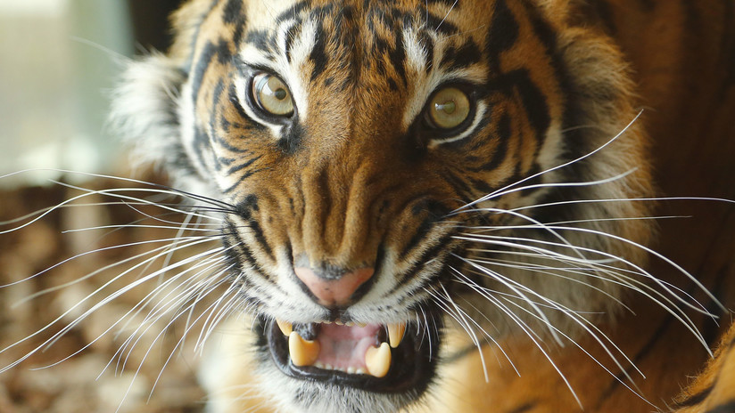 En el zoo de Londres: Una tigresa amenazada de extinción muere destrozada por un macho en su 'primera cita'