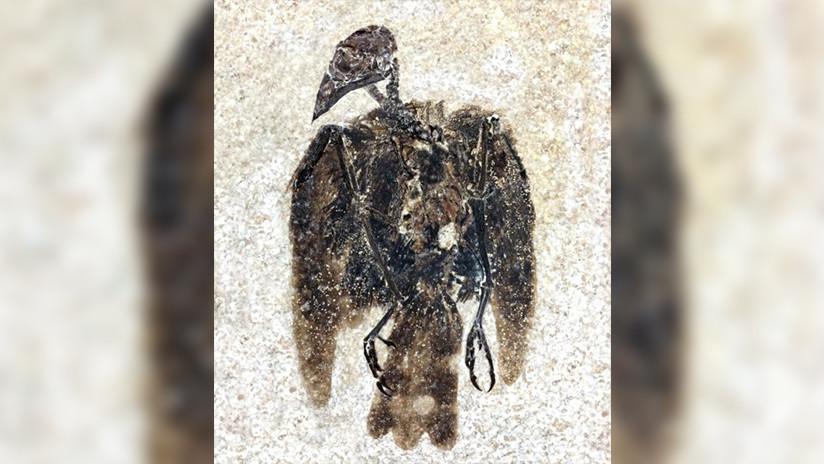 Hallan un ave de 52 millones de años con plumas aún adheridas