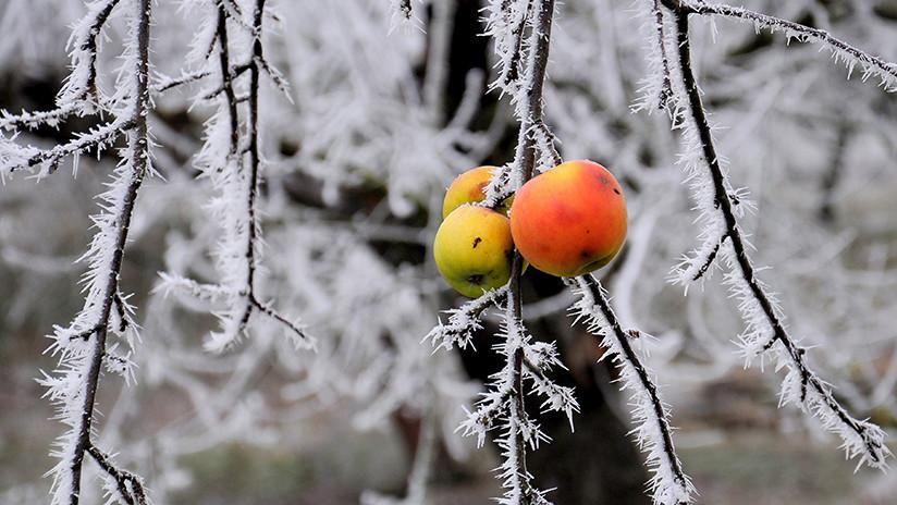 """'Huerto de frío': Aparecen """"manzanas fantasma"""" en Míchigan tras una lluvia helada (FOTOS)"""