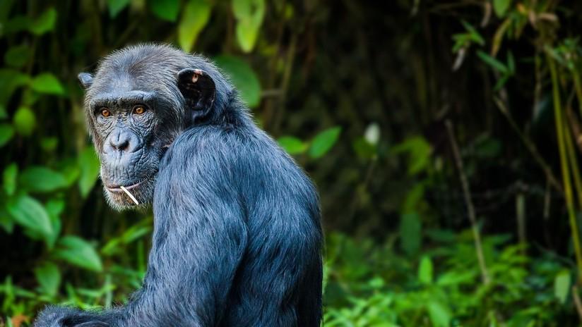 VIDEO: Ingeniosos chimpancés usan un tronco como escalera  para escapar de su encierro en un zoo
