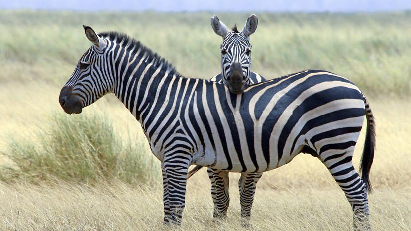 ¿Dos cebras con una cabeza? Captan una asombrosa ilusión óptica en una reserva natural de África