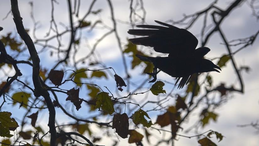 VIDEO: Los cuervos pueden trazar un plan mental tres pasos por delante para resolver problemas