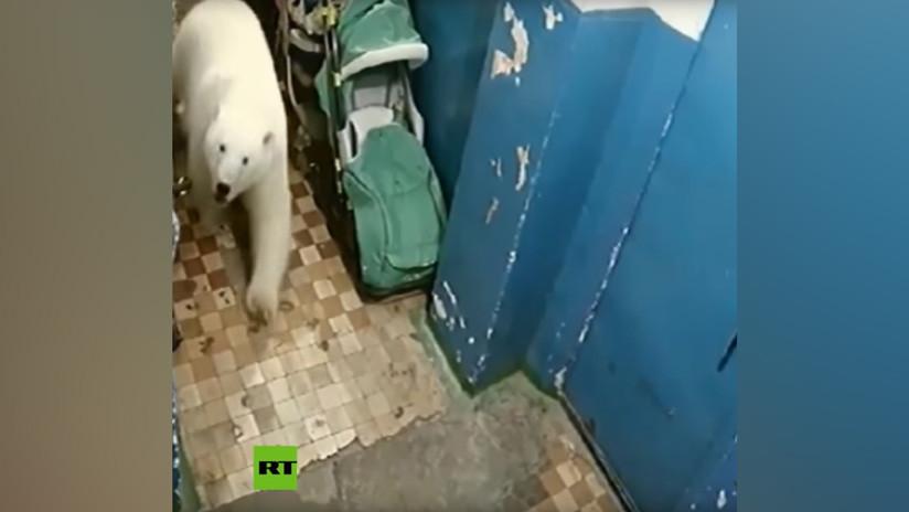 VIDEO: Cámaras captan la 'visita' de un oso polar a un edificio en el norte de Rusia