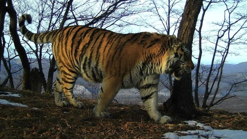 VIDEO: Un residente local capta su encuentro cercano con un tigre en el este de Rusia