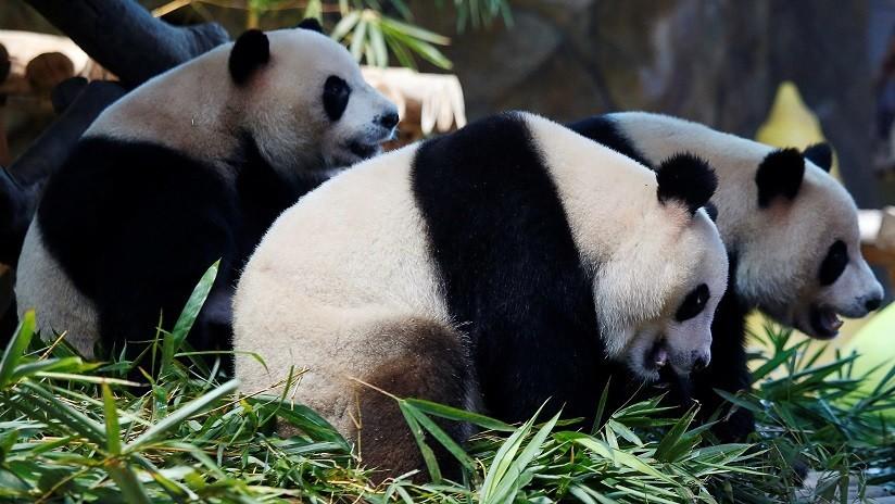VIDEO: Una niña cae al hábitat de los pandas en un zoológico chino