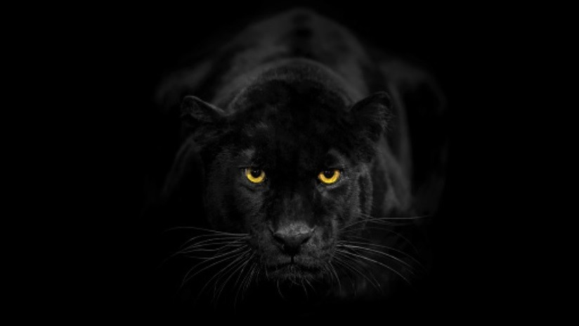 Fotografían a un leopardo negro por primera vez en 100 años