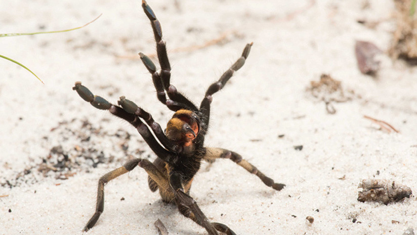 FOTO: Descubren una rara nueva especie de tarántula con un largo cuerno en la espalda