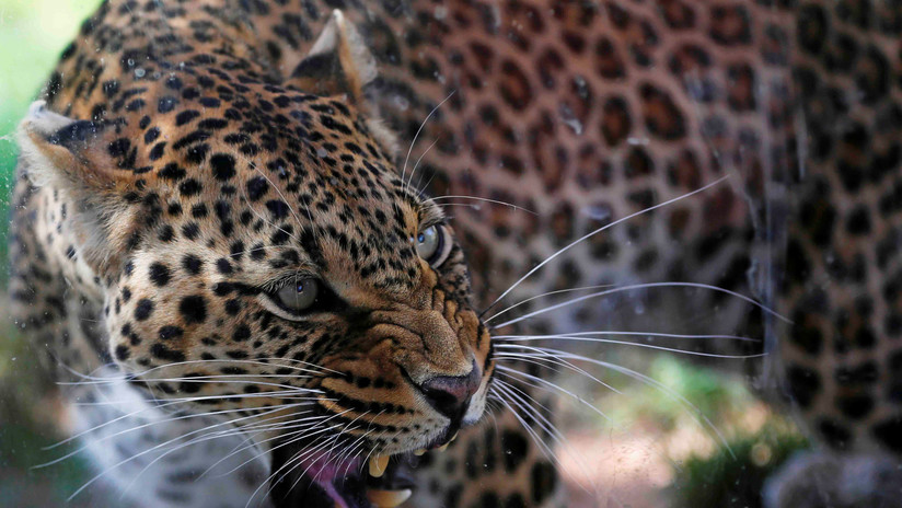 Cazador cazado: la equivocación de un leopardo al entrar en territorio enemigo (VIDEO)