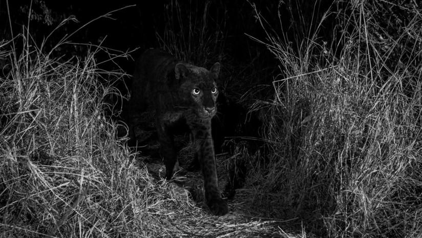 FOTOS: Captan en África a un leopardo negro extremadamente raro por primera vez en 100 años