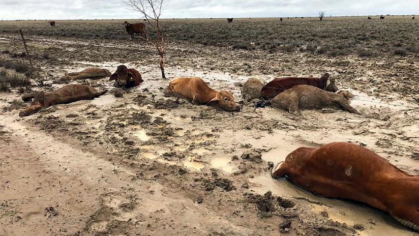 500.000 cabezas de ganado mueren por inundaciones en Australia tras superar más de cinco años de sequías