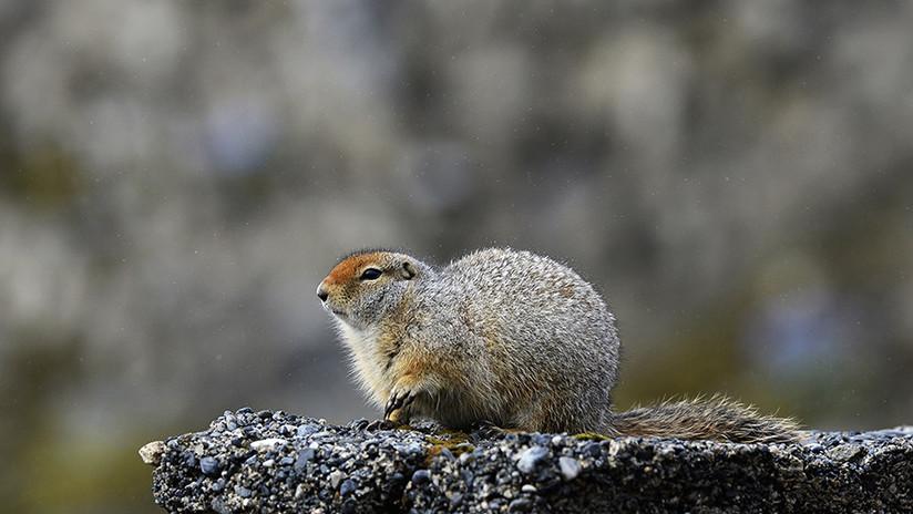 FOTOS: Una marmota ayuda a arqueólogos rusos a encontrar un tesoro