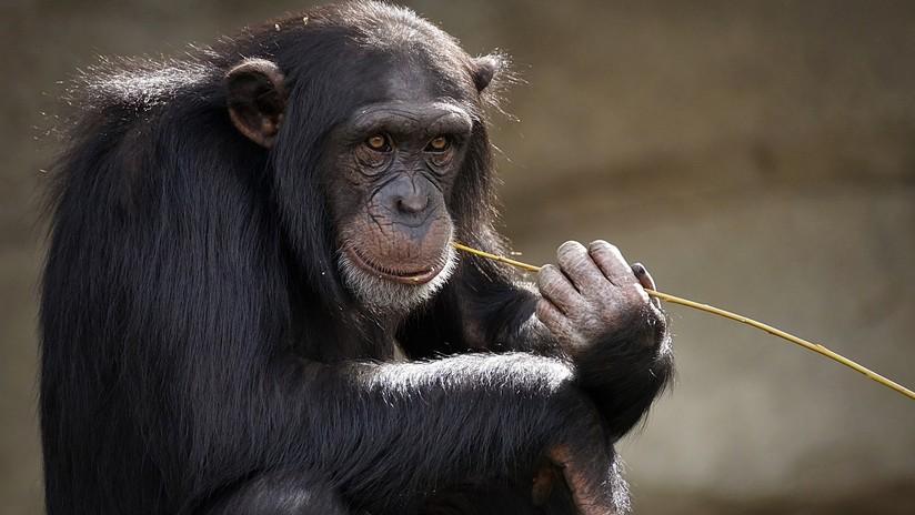 Descubren que los gestos de los chimpancés se rigen por las mismas leyes que el habla humana
