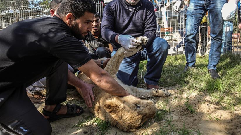 Extirpan las garras a una leona para que juegue con los visitantes de un zoo y causan polémica