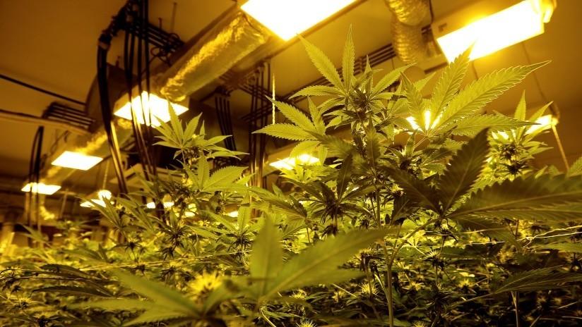 Policía acompaña a una jubilada ebria a casa y encuentra una enorme granja de cannabis