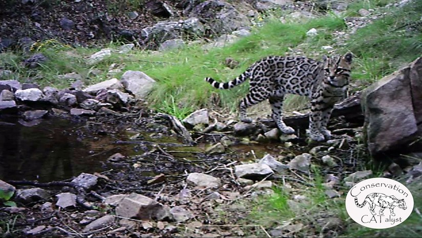 VIDEO: Una cámara escondida capta a uno de los felinos más misteriosos de Norteamérica