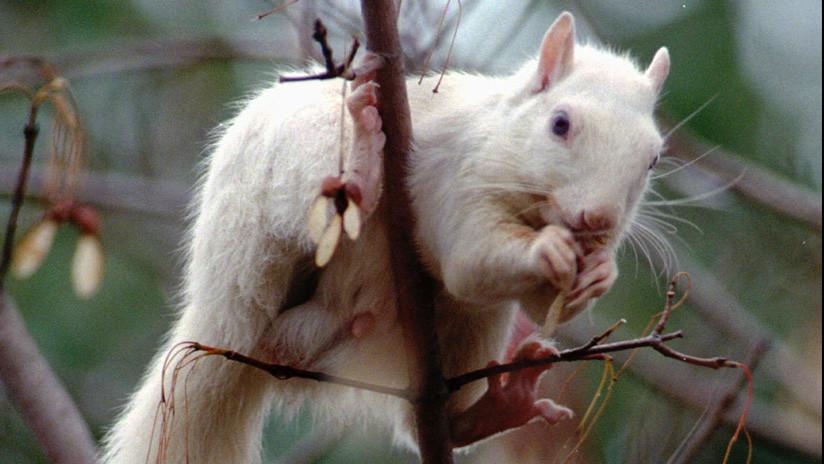 FOTOS: Ardilla albina extremadamente rara es fotografiada en el Reino Unido