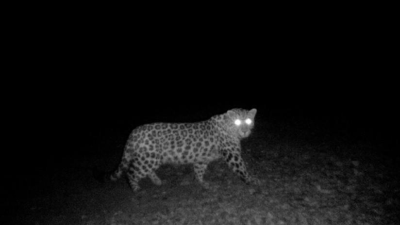 """FOTOS: Captan nuevas imágenes del """"misterioso leopardo"""" que lleva 3 años 'burlándose' de los especialistas"""