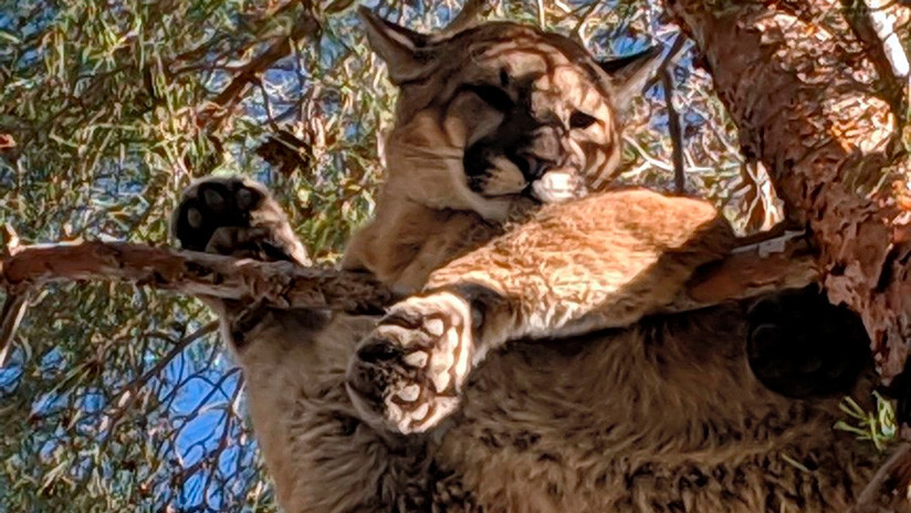 FOTOS: Un puma queda atrapado a 15 metros de altura en un árbol de EE.UU.