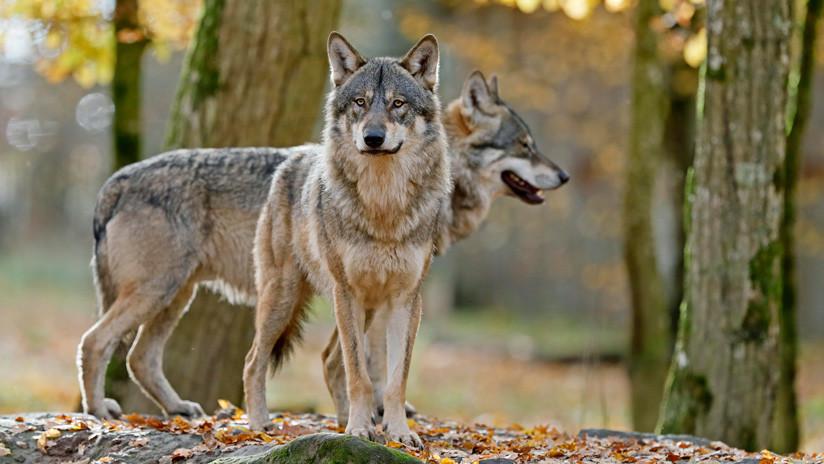 Los militares de Alemania ayudan a que en su país haya más lobos de manera involuntaria