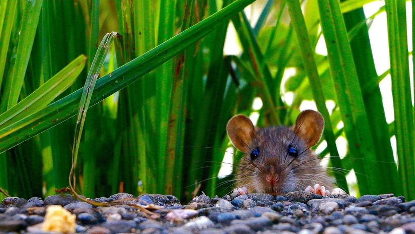 El primer caso de extinción de un mamífero por el cambio climático