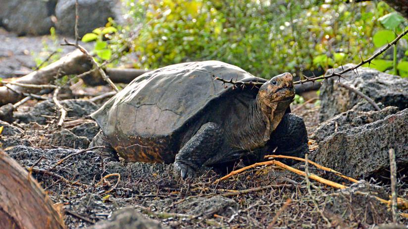 VIDEO, FOTOS: Hallan una tortuga en las Islas Galápagos considerada extinta desde hace 100 años