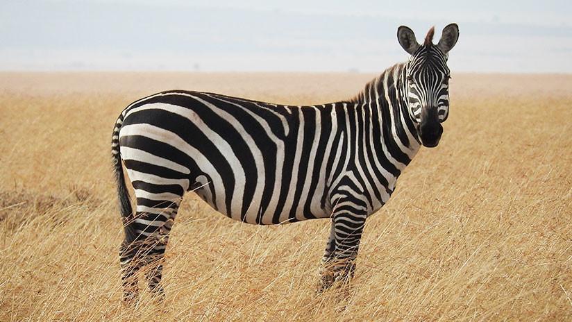 Científicos disfrazan a caballos de cebras para averiguar el porqué de sus rayas (FOTO)