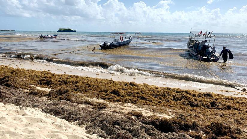¿Por qué un alga pone en riesgo el ecosistema en el balneario mexicano de Playa del Carmen?