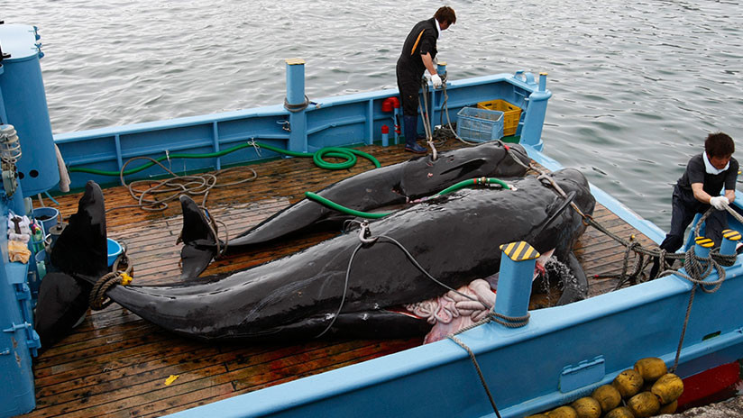 ¿Por qué Japón reanuda la caza de ballenas si el producto no es popular?