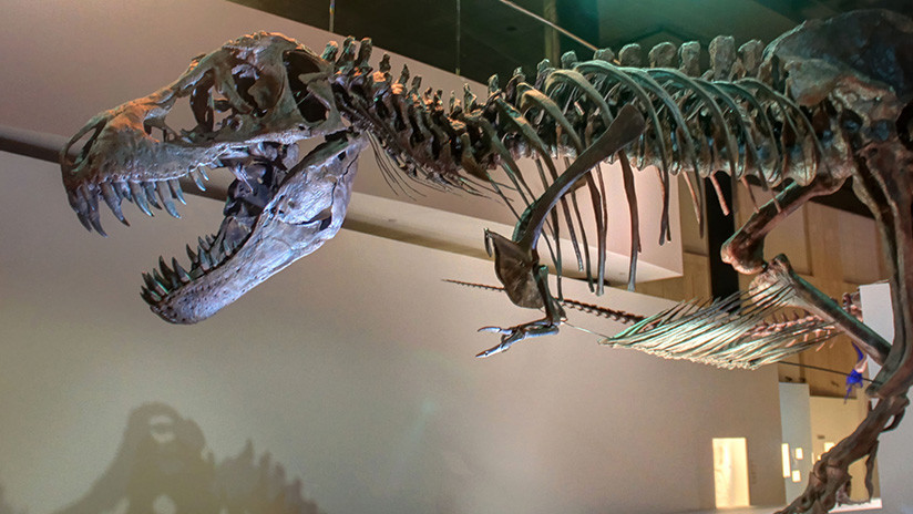 Cuando el 'Tiranosaurus' aún no era 'rex': Descubren un antepasado enano del 'rey de los dinosaurios'