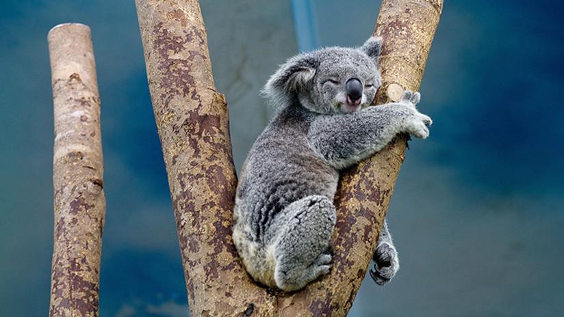 Llega el 'Koala Challenge': El reto al más puro estilo australiano que 'atrapa' a los usuarios de Instagram