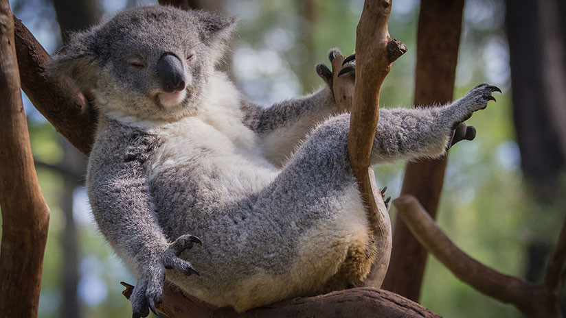 FOTO: Un koala 'seductor' conquista las redes con su pose de modelo