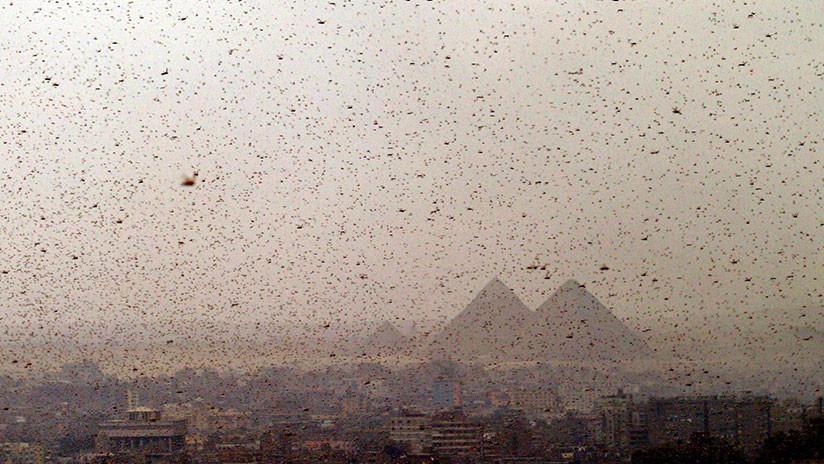 ¿Una 'plaga bíblica'? Egipto se prepara para un ataque de langostas