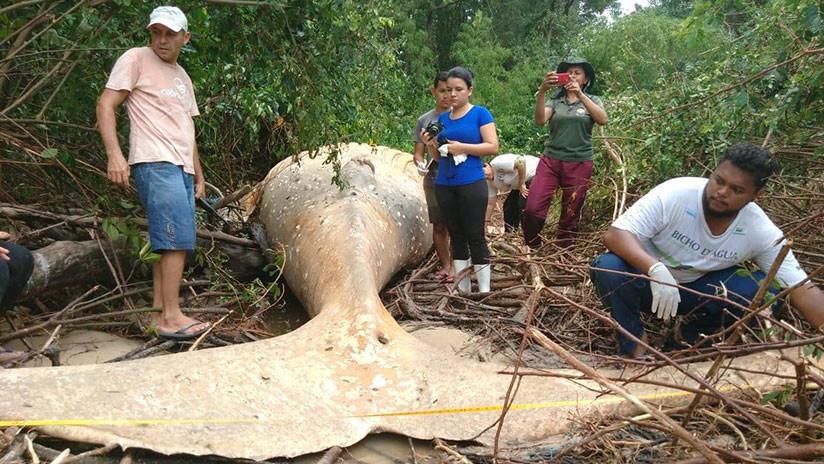 VIDEO: Encuentran una ballena en la selva brasileña lejos de su hábitat natural