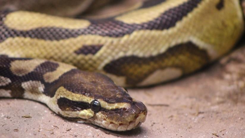FOTOS: Serpiente australiana viaja casi 15.000 kilómetros en el zapato de una turista británica