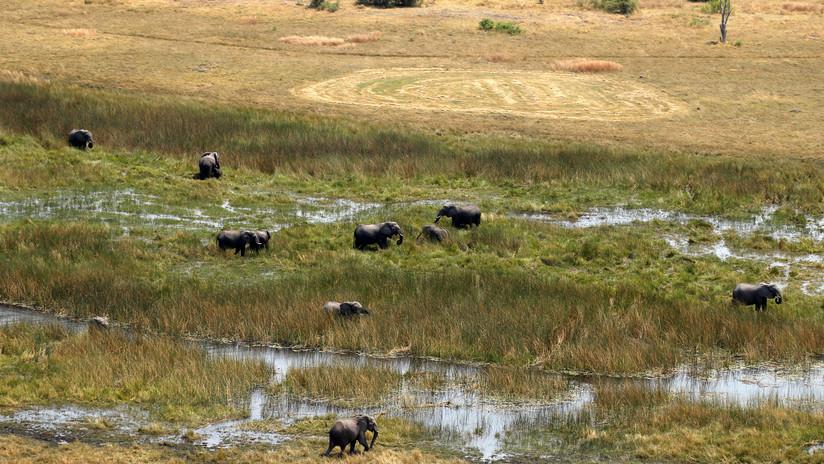 El país con más elefantes del mundo se plantea permitir su caza y vender su carne como pienso para mascotas