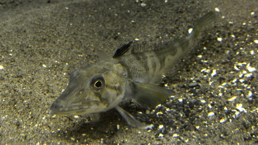 Anticongelante en las venas: descubren cómo algunos peces sobreviven en Antártida