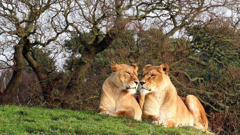 VIDEO: Captan el momento exacto en que un león se interpone en el camino de una leona y le arruina la caza